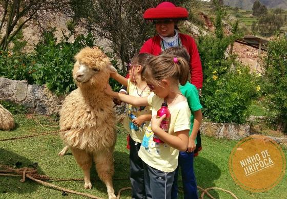 Criação de alpacas em Chinchero no Peru