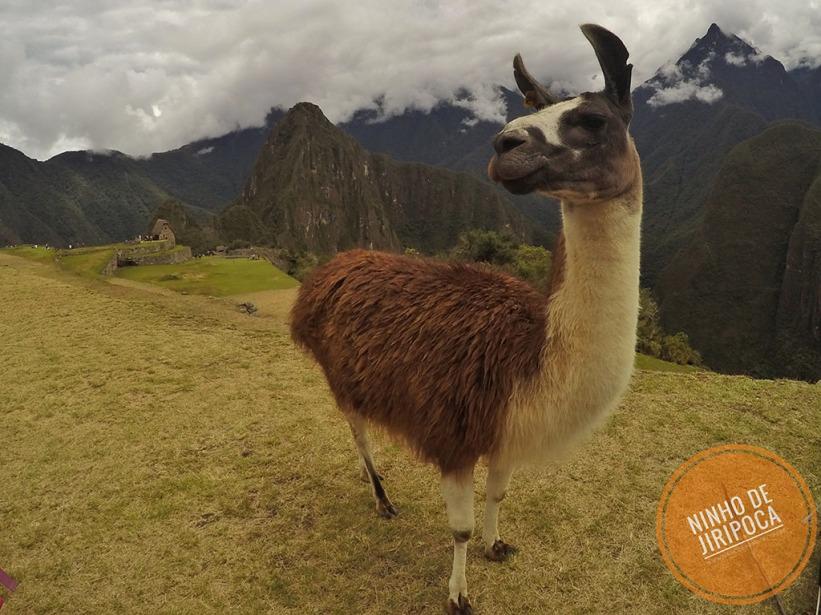 Lhama em Machu Picchu com crianças